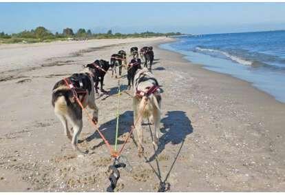 Przejażdżka psim zaprzęgiemna terenie Wyspy Sobieszewskiej