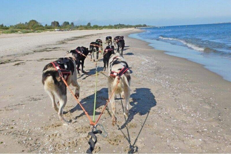 Przejażdżka psim zaprzęgiem na terenie Wyspy Sobieszewskiej