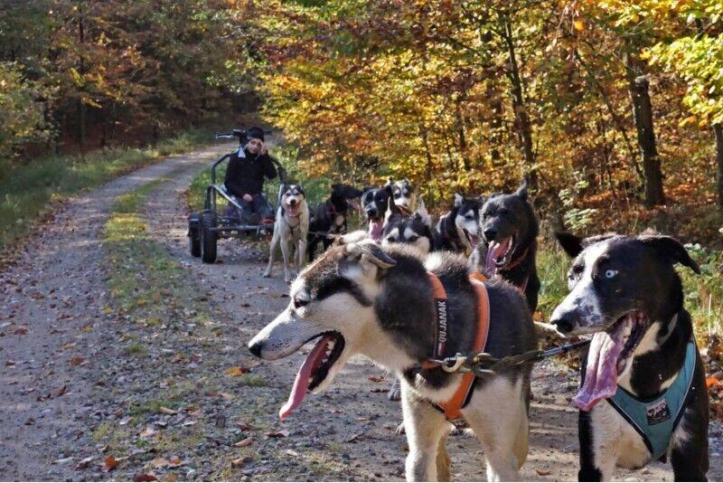 Przejażdżka psim zaprzęgiem we wsi Skrzeszewo