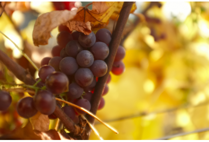 Zwiedzanie winnicy z degustacją i winem do wyboru